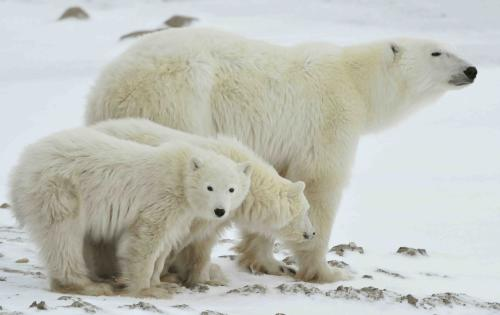 Why Are Polar Bears Going Extinct? (Spoiler Alert: They're Not!)